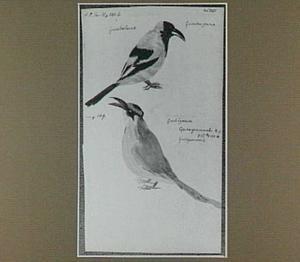 Guiratangeuma en Guirâáymuca (Braziliaanse vogels)