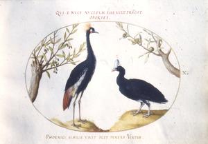 Kroonvogel en helmcasuaris [?]
