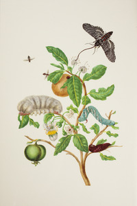 Guave met metamorfose van de tabakpijlstaart, flanelrups en parasietvlieg