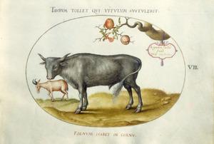 Stier, ander rund[?] en tak van granaatappelboom