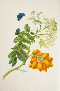 Gele mombinpruim met metamorfose van de blauwe eulasia