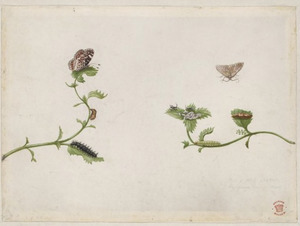 Kleine steentijm, poppen, rupsen en vlinders