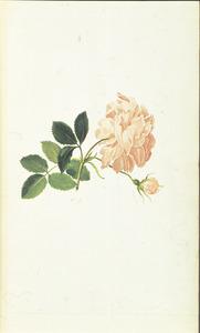 Franse roos