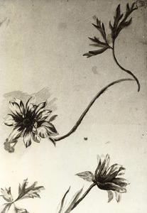Twee anemonen