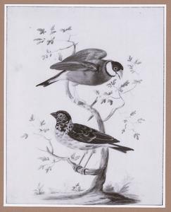 Kleine wevervogel en Java mus op een boomtak