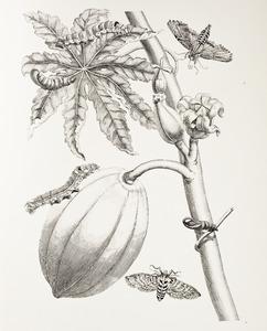 Papaja met vrucht, twee pijlstaarten waaronder ello pijlstaart en gestipppelde pijlstaart rups