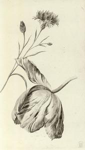 Tulp en Korenbloem
