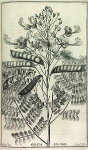 Plant uit de vlinderbloemfamilie