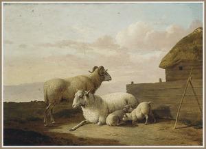 Rustende schapen bij een schuur