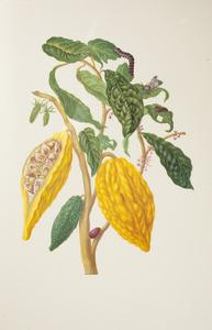 Cacaoboon met metamorfose van de zoete aardappelzwermmot