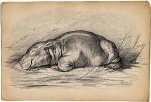 Het nijlpaardje Herman jr. slapend