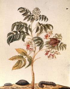 Gekuifde honingbloem met metamorfose van uiltje