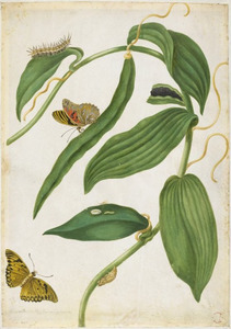 Vanille (orchidee) met vanillevlinder
