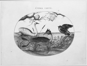 Zwaan en twee andere vogels