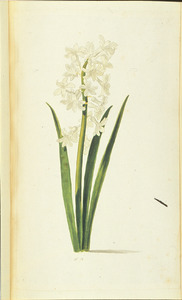 Witte hyacint