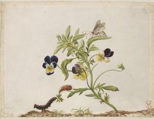 Driekleurig viooltje met metamorfose van vlinder