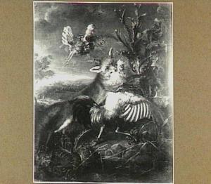 Kip aangevallen door vos