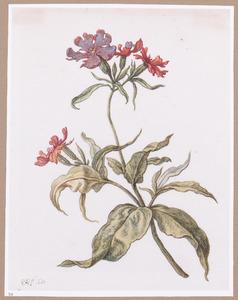Wilde bloem, mogelijk een dagskoekoeksbloem