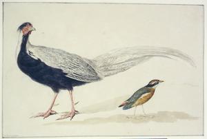 Het mannetje ven een zilverfazant en een baluwvleugelpitta