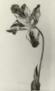 Een rood-wit gevlamde tulp