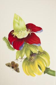 Bananenplant met pop, rups en Liberia Io mot