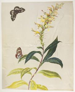 Plant, mogelijk uit de helmkruidfamilie, en blauwe ijsvogelvlinder