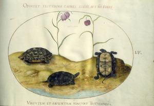 Drie schildpadden en twee kievitsbloemen