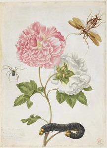 Katoenroos met rups van keizersvlinder, Aziatische kakkerlak en heterapoda spin