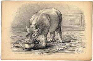 Het nijlpaardje Herman jr. etend uit een voederbak