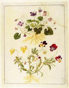 Maarts- en driekleurig viooltje