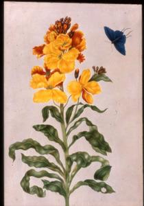 Muurbloem en pseudo-lycaena marsyas