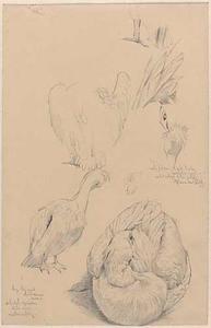 Schetsblad met pelikanen studies