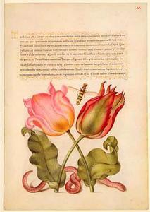 Twee Perzische tulpen en een regenworm