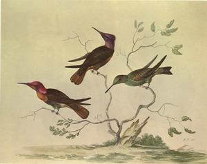 Drie kolibries