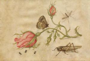 Studie van een roos met vlinder, sprinkhaan, mieren en mug