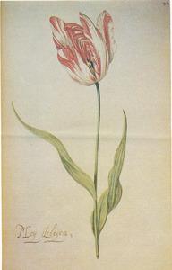 Tulp (Moij Aeltijen,)