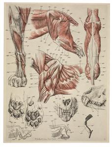Anatomie van de leeuw: spieren en skelet