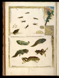 Trompe l' oeil als twee opgeprikte bladen met de metamorfose van de bruine- en harlekijnkikker