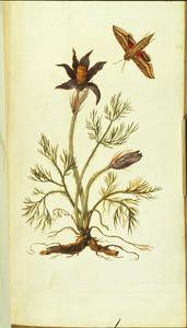 Wildemanskruid