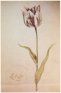 Tulp (La Reyne)