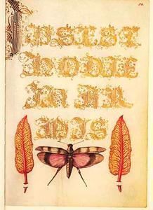 Roodvleugelsprinkhaan en twee bietenslabladeren