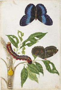 Gummi guttaeboom met twee blauwzwarte morpho's en rups van de sycespijlstaart