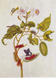 Orleaanboom met Phidias vlamvlinder, rups, pop en uiltje