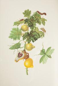 Sodomsappel met bladbidsprinkhaan, bonen skeletrups en uiltje