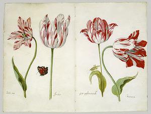 Vier tulpen (Boter man, Joncker, Grote geplumaceerde en Voorwint), dagpauwoog en sprinkhaan