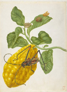 Sukade met bananenspinner en harlekijnkever