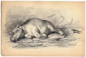 Slapend nijlpaard