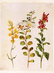 Kappertjes, rode lobelia en andere plant