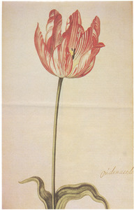 Tulp (Oúdenaerde)