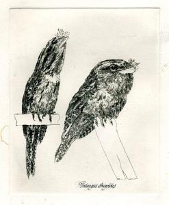 Kikkebek (nachtzwaluw)